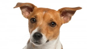 Jack Russell Terrier (10 months old)